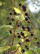 Black Berries Posters - Blackberries Poster by H Koehler