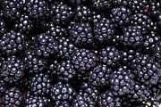 Juicy Posters - Blackberries Poster by Loree Johnson