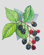 Blackberry Originals - Blackberries by Val Stokes