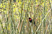 Kate Brown Framed Prints - Blackbird in Reeds Framed Print by Kate Brown