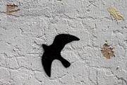 John Daly - Blackbird