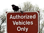 Bottomlands Metal Prints - Blackbird On Patrol Metal Print by Lizbeth Bostrom