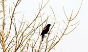 Blackbird Singing A Happy Tune Print by Tina M Wenger