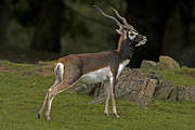 Paul Scoullar - Blackbuck Antelope