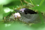 Alex Sukonkin - Blackcap on the nest