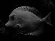 Tropical Fish Posters - Blackened Fish Poster by Wendy J St Christopher
