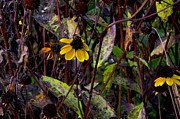 The End Digital Art - Blackeyed Susan at the End of the Season by Bill Cannon