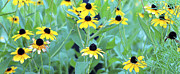 Disk Flowers Posters - Blackeyed Susan Wildflowers Poster Image Poster by A Gurmankin