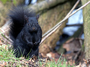 Bushy Tail Photos - Blackie by Sharon  Talson