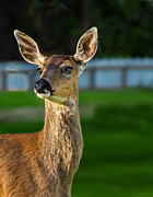 Blacktail Portrait Print by Robert Bales
