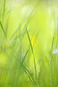 Warm Summer Photo Prints - Blades of grass - green spring meadow - abstract soft blurred Print by Matthias Hauser