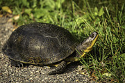 Blanding Prints - Blandings Turtle Print by Thomas Young