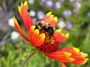 Gaillardia Photos - Blanket Flower and Bumblebee by Chris Berry