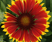Gaillardia Photos - Blanket Flower by Cindi Ressler