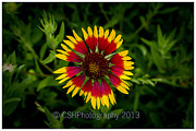 CSH Photography - Blanket Flower