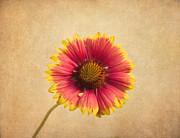 Kim Hojnacki - Blanket Flower