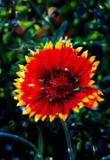 Gaillardia Photos - Blanket Flower by Robert Bales