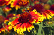 Gaillardia Photos - Blanket Flower by Sharon  Talson