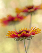 Wildflower Fine Art Prints - Blanket Flower Whimsy Print by Heidi Smith