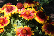 Garden Pyrography Metal Prints - Blanket Flowers Metal Print by Corey Ford