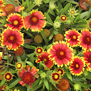 Gaillardia Photos - Blanket Flowers  One - photography by Ann Powell