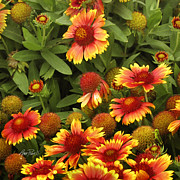 Flower Photographs Photo Prints - Blanket Flowers Two - photography Print by Ann Powell