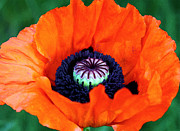 Ornamental Flower Prints - Blaze Orange Watercolor Poppy Print by Karon Melillo DeVega