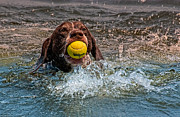 Water Retrieve Posters - Blaze Retrieving Wilson 3 Poster by Joe Teceno