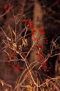Natural Focal Point Photography - Blazing Berries
