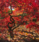 Blazing Prints - Blazing Japanese Maple Print by Angie Vogel