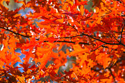 Element Photos - Blazing Maple by Alexander Senin