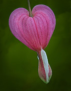 Bleeding Hearts Prints - Bleeding Heart Print by Susan Candelario