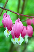 Fielding Prints - Bleeding Hearts Flowers Print by Edward Fielding