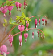 Fushia Prints - Bleeding Hearts Print by Kerry Hauser