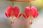 Twosome Posters - Bleeding Hearts Macro Photograph Poster by Peggy Collins