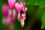 Knockout Framed Prints - Bleeding Hearts Framed Print by Matt Dobson