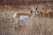 Pronghorn Framed Prints - Blending In Framed Print by Adam Jewell