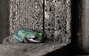 Pacific Tree Frog Metal Prints - Blending In Metal Print by Angie Vogel