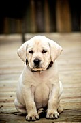 Sad Greeting Cards Prints - Blond Lab Pup Print by Kristina Deane