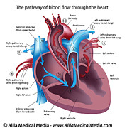 Heart Healthy Digital Art Posters - Blood flow through the heart labeled  Poster by Alila Medical Media