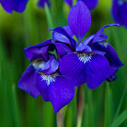 Matt Dobson Prints - Blood Iris Print by Matt Dobson