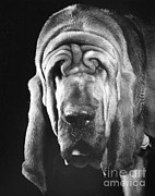 Bloodhound Portrait Print by ME Browning