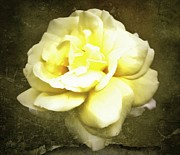 Cream Roses Prints - Bloom in full Print by Cathie Tyler