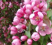 Laurel Best - Blooming Cherry