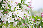 Easter Flowers Posters - Blooming apple tree Poster by Elena Elisseeva
