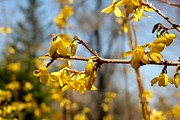 Barbara S Nickerson - Blooming Forsythia