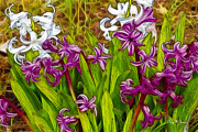 Barry Jones - Blooming Hyacinth