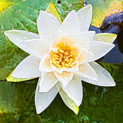 Waterlily Art - Blooming Lily by Semmick Photo