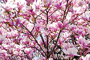 Magenta Framed Prints - Blooming magnolia Framed Print by Elena Elisseeva