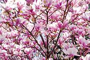 Blooming Magnolia Print by Elena Elisseeva